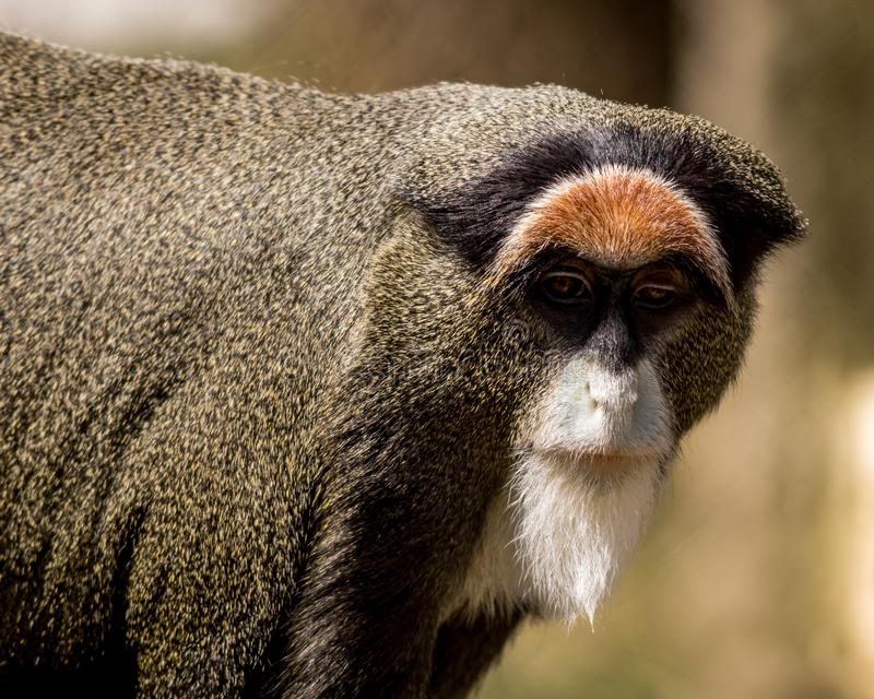 De Brazza`s Monkey with one eye in poor condition, portrait. De Brazza`s Monkey, Cercopithecus neglectus, with one bad eye enjoys looking in the mirror at Cape stock image