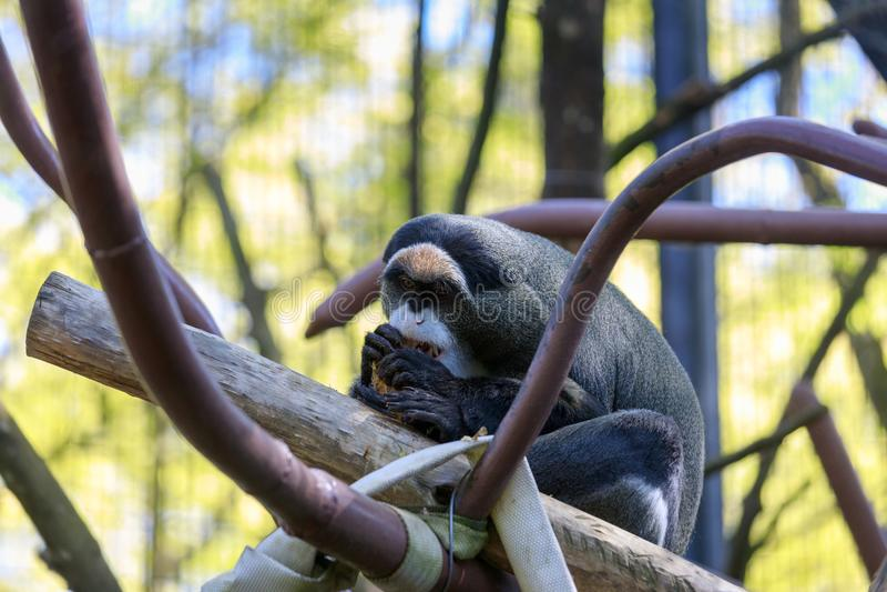 De Brazza's monkey at Oregon Zoo. De Brazza's monkey, Africa savanna district at Oregon Zoo royalty free stock photos