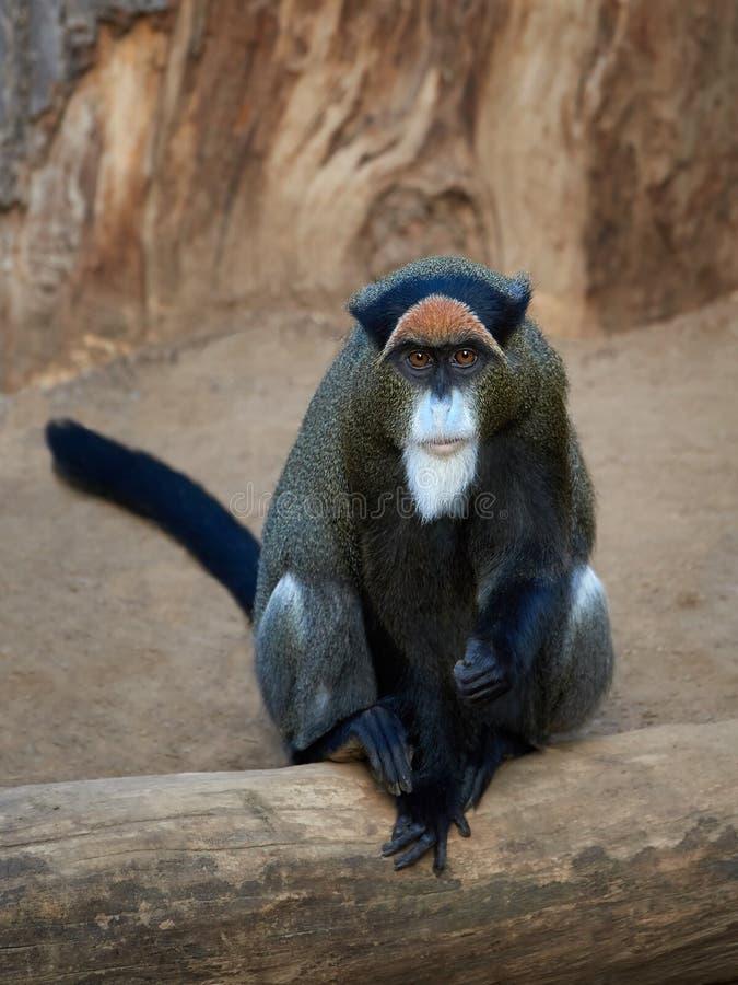 De Brazzas monkey Cercopithecus neglectus. De Brazzas monkey sitting on a tree trunk in its habitat stock photos