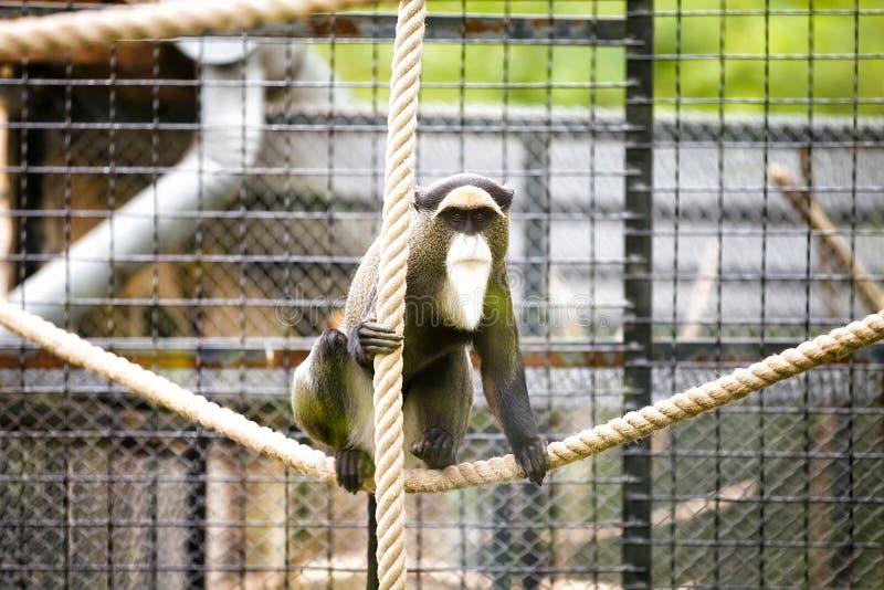 De Brazzas monkey. In Zoo royalty free stock photos