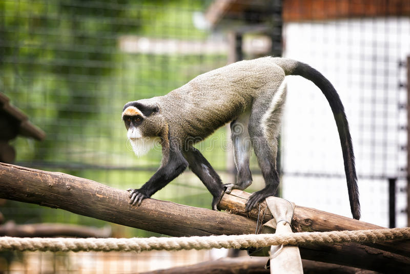 De Brazzas monkey. In Zoo stock photo