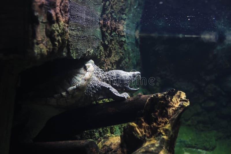 De brekende schildpad in het water stock foto's