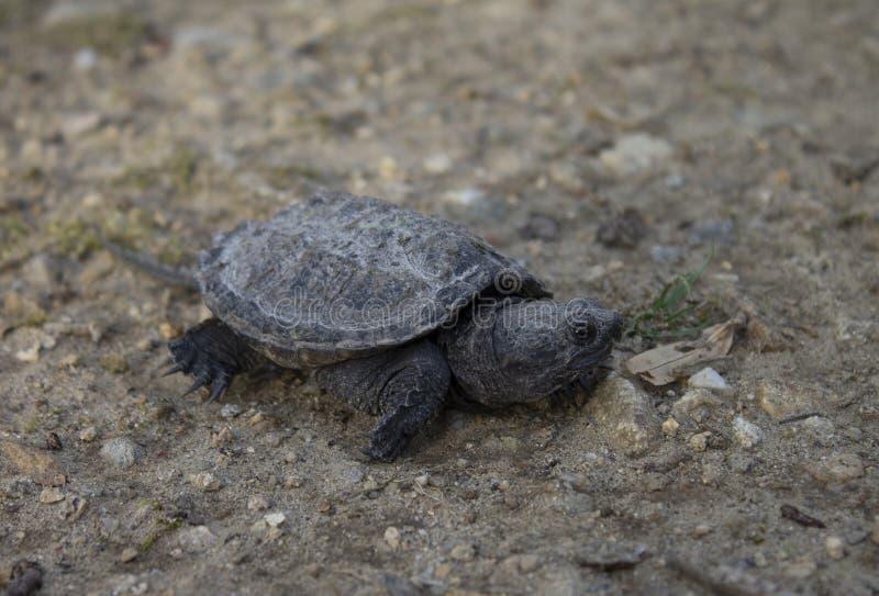 De brekende schildpad van de baby stock foto