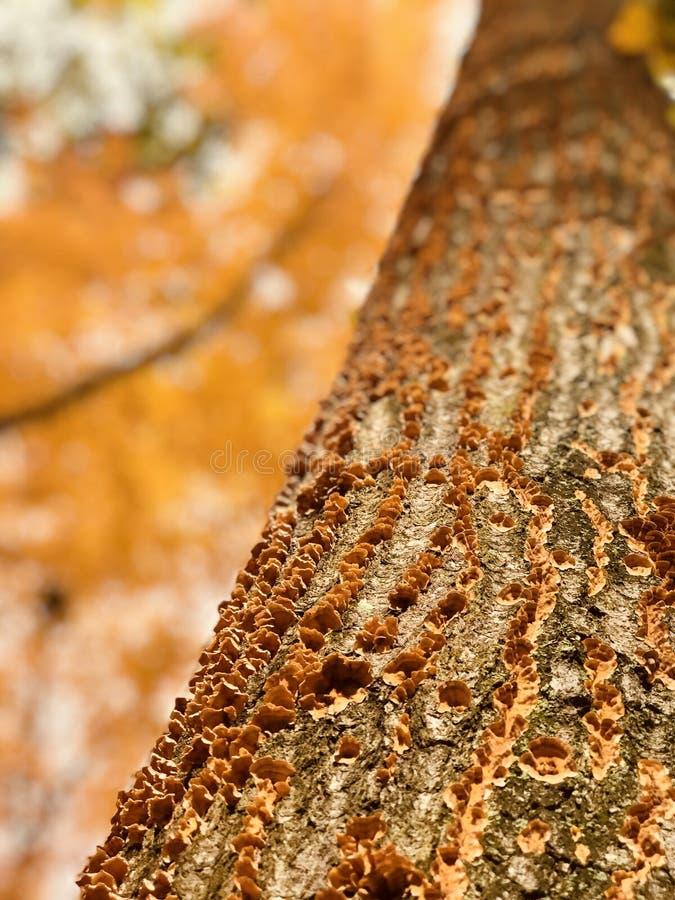 De briljante oranje groei van oranje paddestoelen in Cleveland MetroParks - PARMA - OHIO royalty-vrije stock afbeeldingen