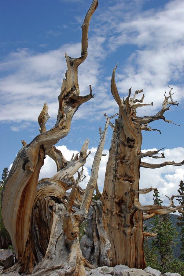 De bristleconepijnbomen stock foto's
