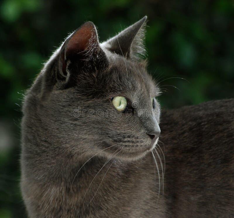 De Britse blauwe kat zoekt voedsel royalty-vrije stock afbeeldingen