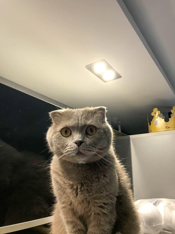 De Britse grijze kat met hangende oren zit hoog op de kast in de keuken onder het plafond stock foto's