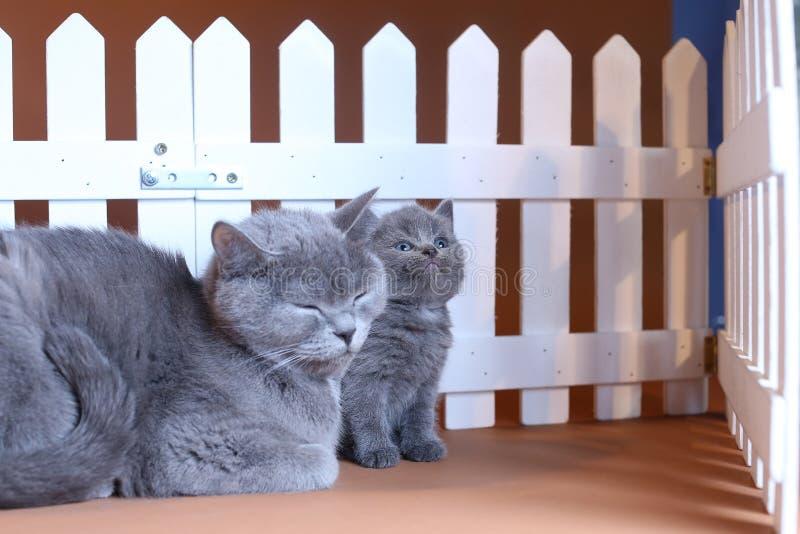De Britse Shorthair-moederkat koestert haar katje dichtbij een witte omheining op achtergrond royalty-vrije stock foto