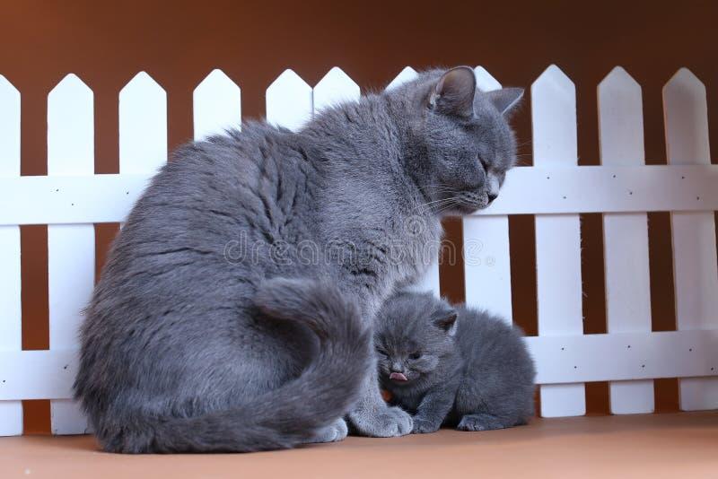 De Britse Shorthair-moederkat koestert haar katje dichtbij een witte omheining op achtergrond royalty-vrije stock afbeeldingen