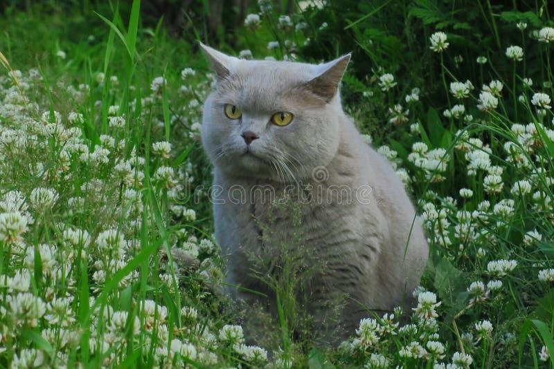 De Britse shorthairkat jacht op het gras in de tuin stock foto's