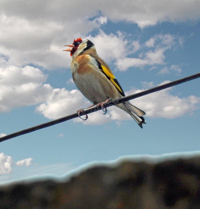 De Britse vogel die van distelvinkcarduelis op de huisdieren van de lijndieren van de telefoondraad neerstrijken royalty-vrije stock afbeeldingen