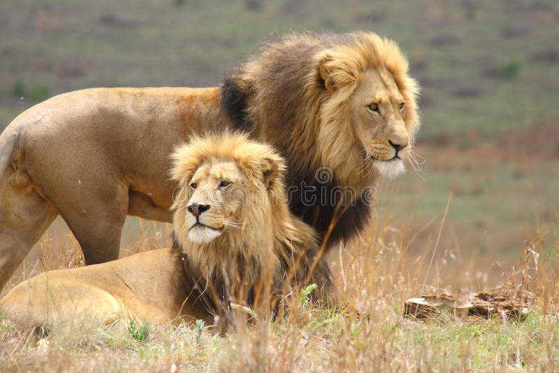 De Broers van de leeuw stock fotografie
