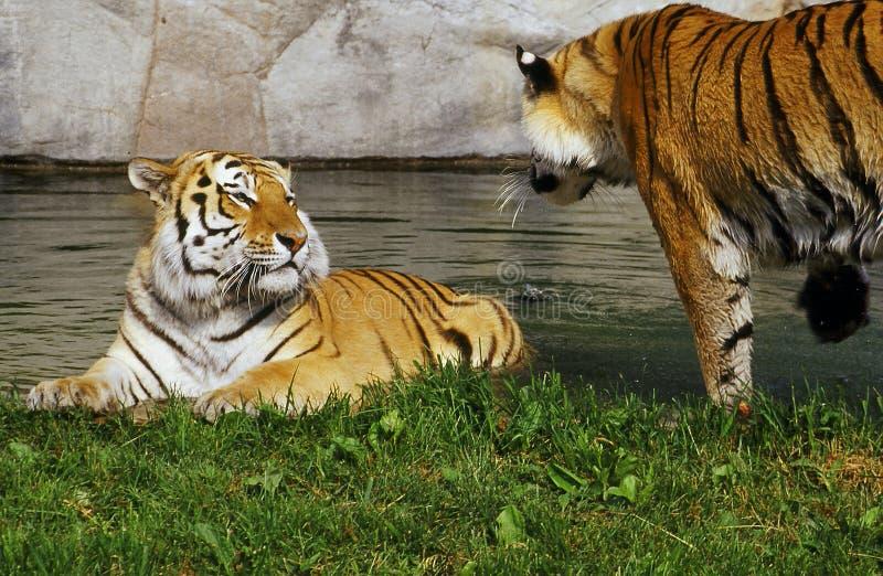 De broers van de tijger royalty-vrije stock afbeeldingen