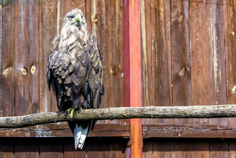 De bruine adelaar zit in de volledige groei Vreselijk kijk van de adelaar stock afbeelding