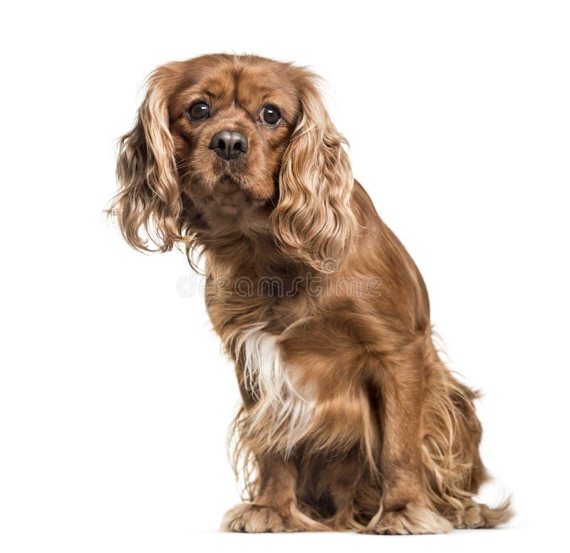 De bruine arrogante die hond van Koningscharles spaniel, zitting, op wh wordt geïsoleerd stock fotografie