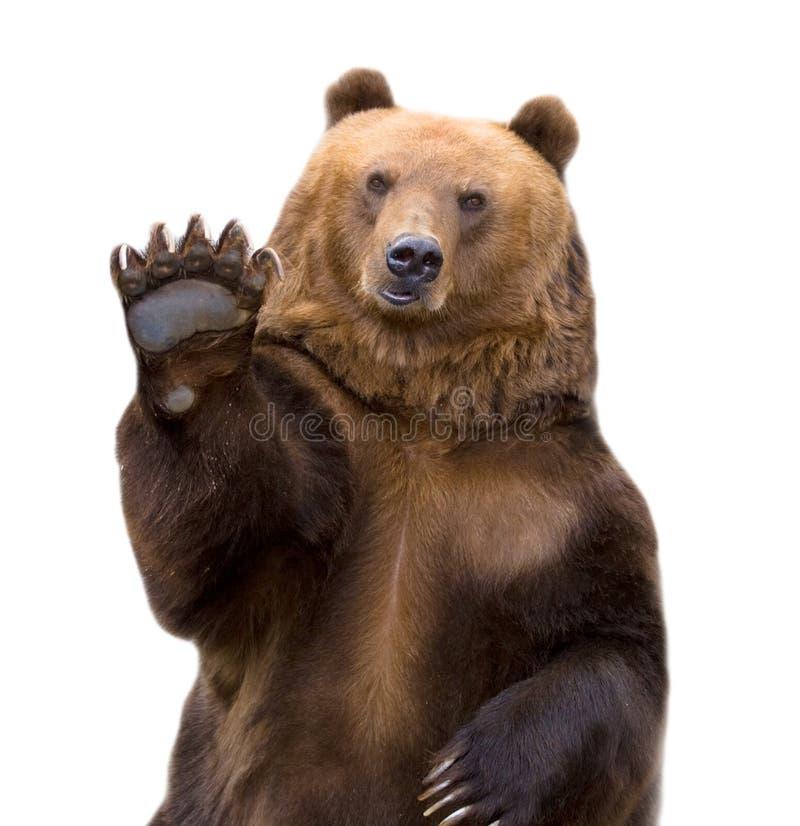 De bruine beer heet welkom (arctos Ursus). royalty-vrije stock afbeelding