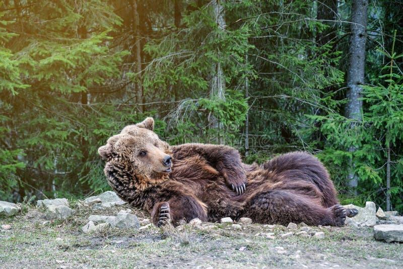 De bruine beer ontwaakte in het hout stock foto