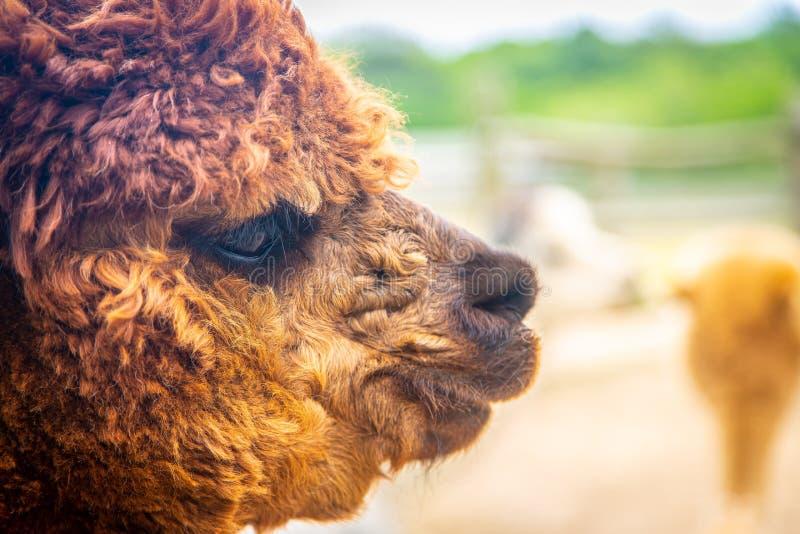 De bruine bontclose-up van het alpacagezicht bij landbouwbedrijf stock afbeeldingen