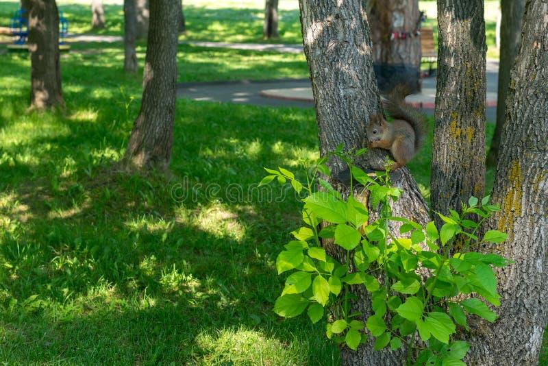 De bruine bonteekhoorn eet rechtstreeks en kijkt omzichtig stock afbeelding
