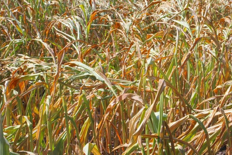 De bruine droogten van de de gebiedenlandbouw van het maïsgraan, Afrika stock fotografie