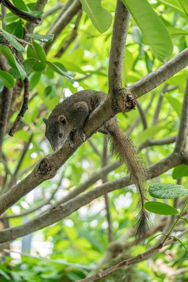 De bruine eekhoorn is op de frangipaniboom Het zag vooruit eruit stock foto's