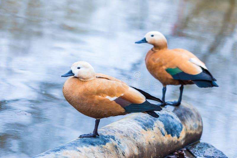 De bruine eend of de mannetjeseend op het stadsmeer of meerzitting op de buis van kanalisatie stock fotografie