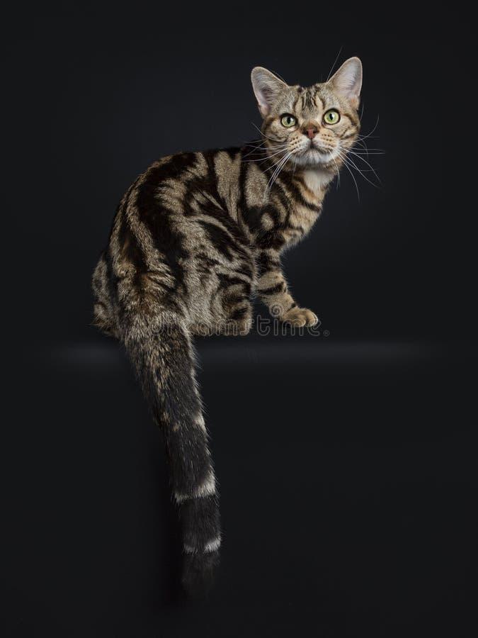 De bruine en zwarte zitting die van het de kattenkatje van gestreepte kat Amerikaanse Shorthair achteruit die over bij camera moe stock fotografie