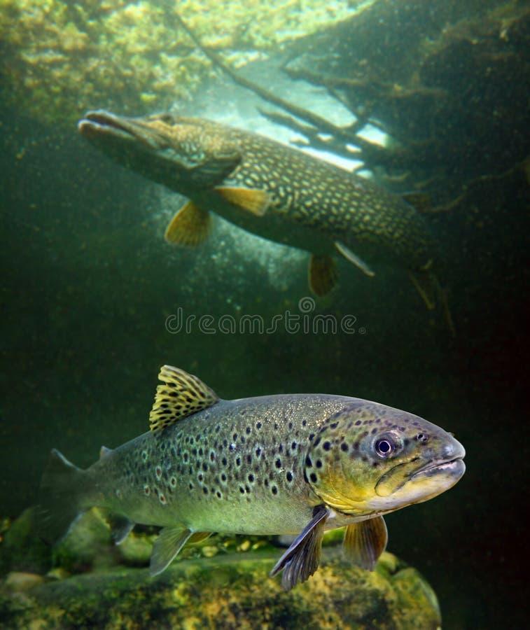 De bruine Forel en een grote Noordelijke Snoek. stock afbeelding