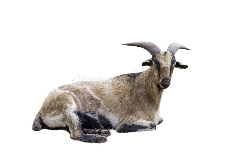 De bruine geiten liggen geïsoleerd op Witte Achtergrond royalty-vrije stock afbeelding