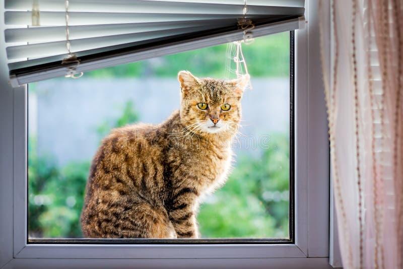 De bruine gestreepte kat zit op de venstervensterbank en wil in t gaan stock foto
