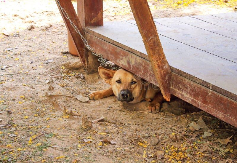 De bruine hond en de ketting die op de grond met droge bladeren onder houten vloer in de zomerdag liggen, het weer zijn heet en m royalty-vrije stock fotografie