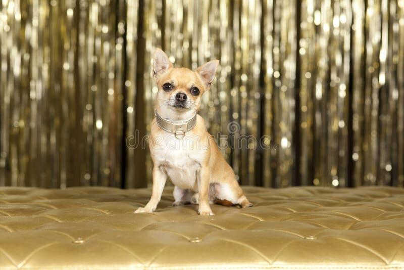 De bruine hond van Chihuahua royalty-vrije stock afbeeldingen