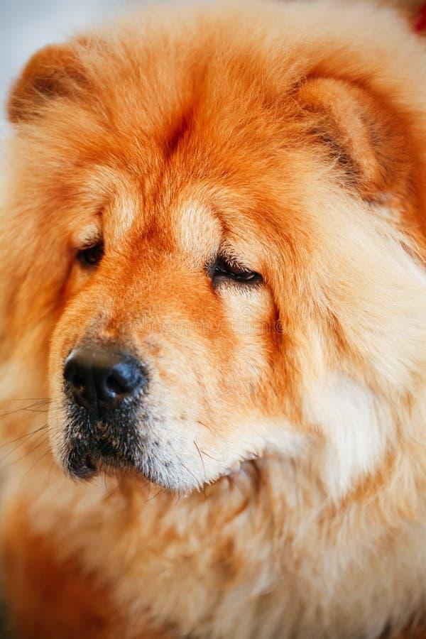 De bruine hond van de Ruggegratenchow-chow stock foto