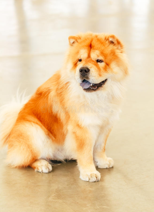 De bruine hond van de Ruggegratenchow-chow royalty-vrije stock foto's