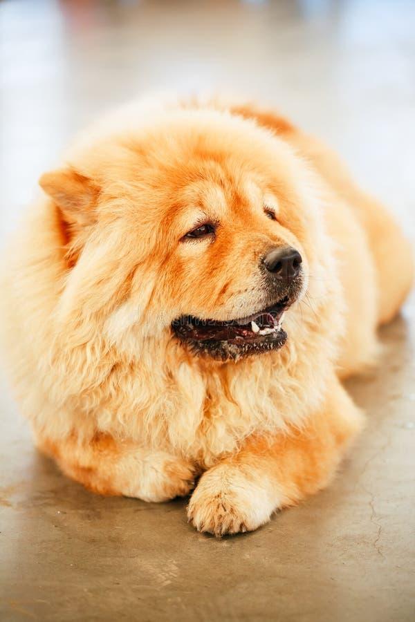 De bruine hond van de Ruggegratenchow-chow royalty-vrije stock afbeelding