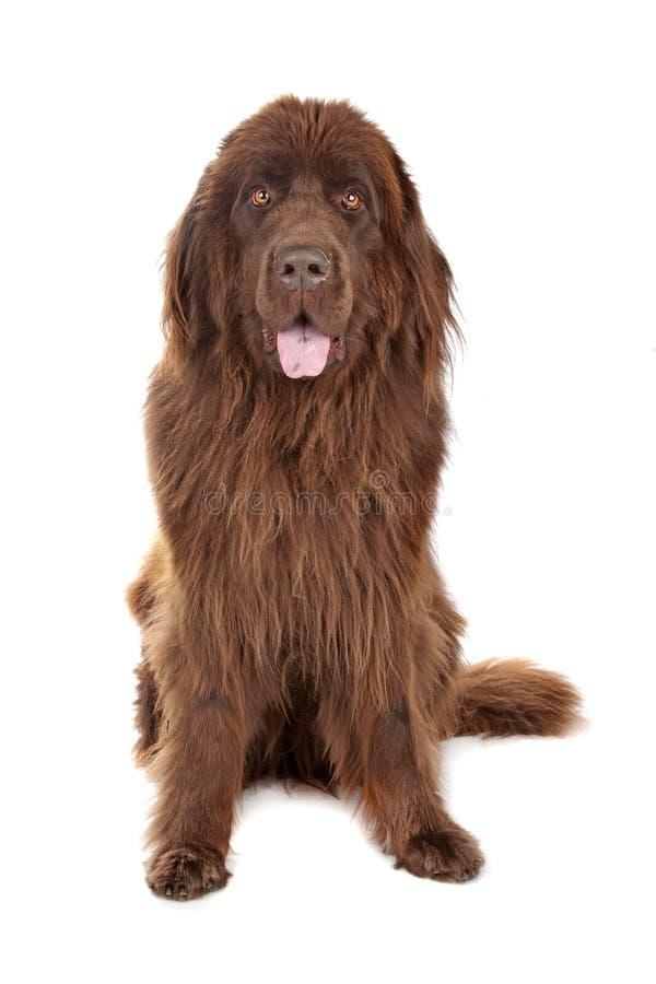 De bruine hond van Newfoundland royalty-vrije stock afbeeldingen