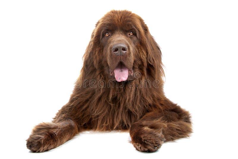 De bruine hond van Newfoundland stock afbeelding