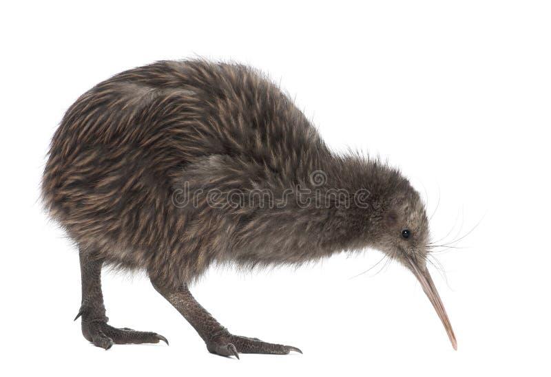 De Bruine Kiwi van het Eiland van het noorden, mantelli Apteryx