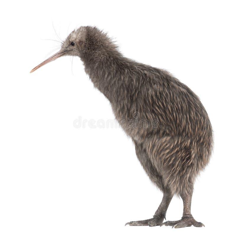De Bruine Kiwi van het Eiland van het noorden, mantelli Apteryx royalty-vrije stock foto