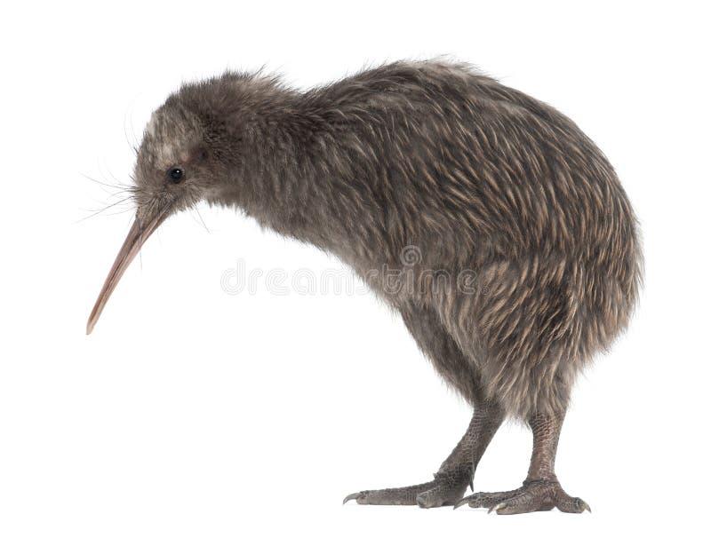 De Bruine Kiwi van het Eiland van het noorden, mantelli Apteryx royalty-vrije stock foto's