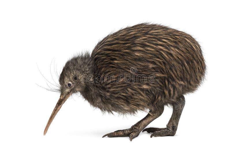 De Bruine Kiwi van het Eiland van het noorden, mantelli Apteryx stock fotografie