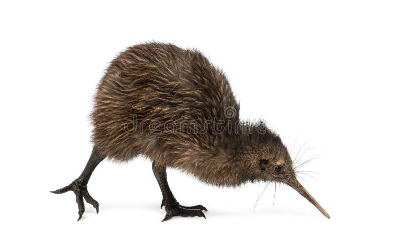De Bruine Kiwi van het het noordeneiland, Apteryx-mantelli, 3 maanden oud stock afbeeldingen