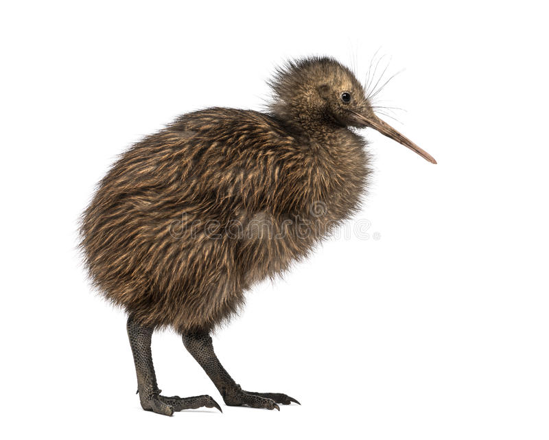 De Bruine Kiwi van het het noordeneiland, Apteryx-mantelli, 3 maanden oud royalty-vrije stock fotografie