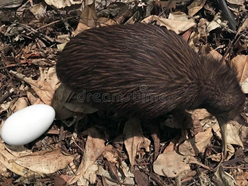 De bruine kiwi van het het noordeneiland stock afbeelding