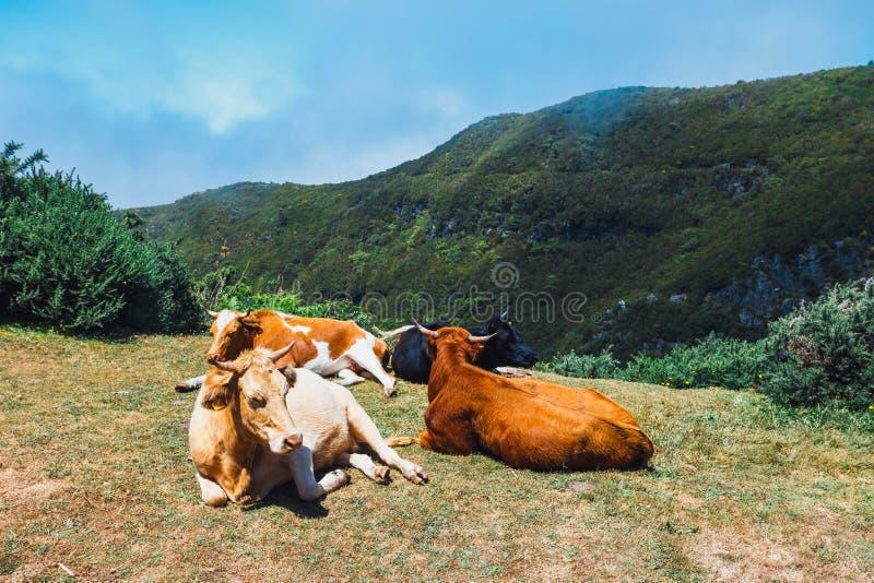 Download De Bruine Koeien Bij De Ingang Aan De Sleep Aan Fontes Van Levada Das 25 En Levada Doen Risco, Madera Stock Afbeelding - Afbeelding bestaande uit zuivelfabriek, klip: 107702263