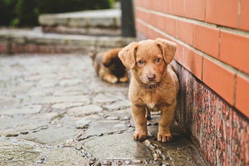 De bruine leuke puppyhond zit stappenhuis stock afbeeldingen