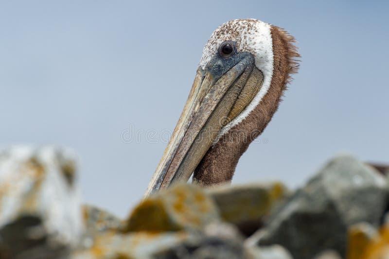 De bruine pelikaan van Californië royalty-vrije stock afbeeldingen