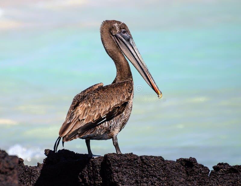 De Bruine Pelikaan van de Galapagos royalty-vrije stock foto's