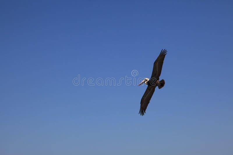 De bruine pelikaan vliegt royalty-vrije stock foto