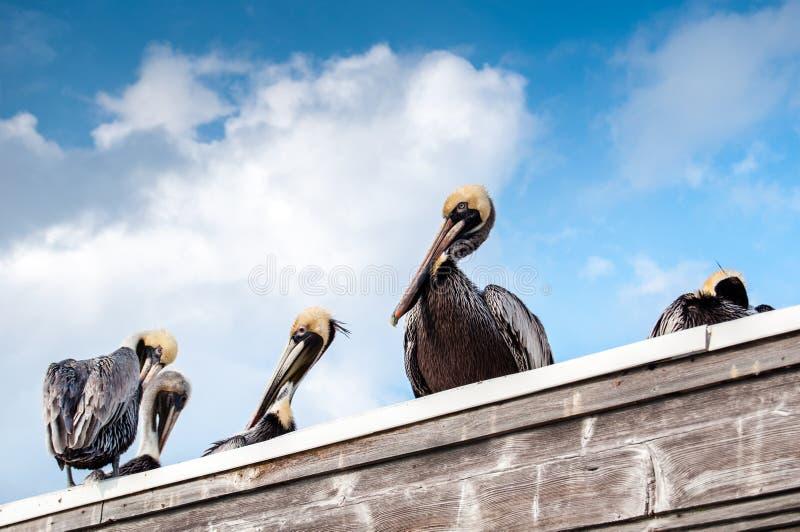 De bruine Pelikanen hebben een rust stock fotografie